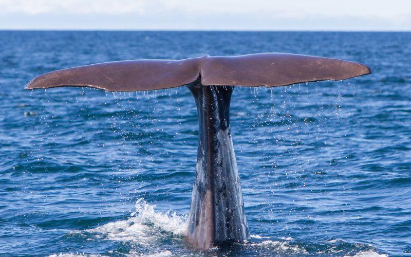 Une baleine dans les eaux de l'Islande