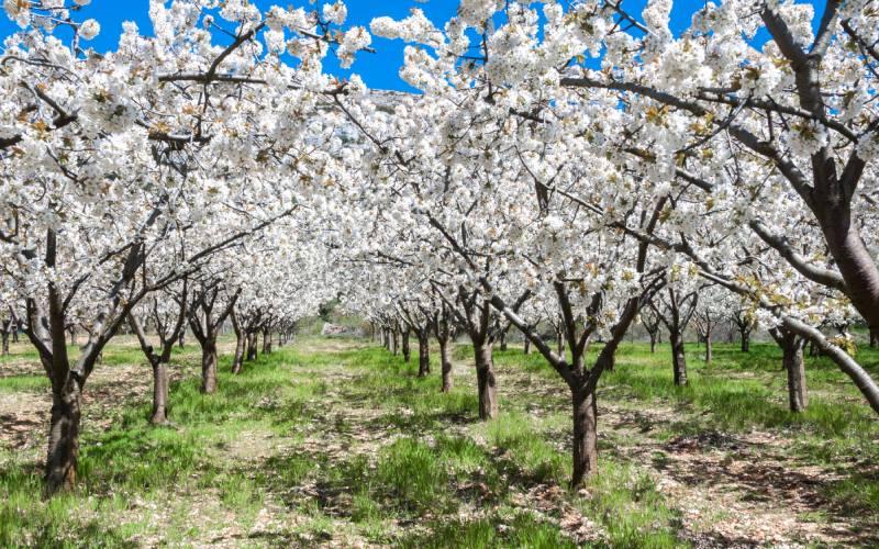 Des cerisiers dans la vallée du Jerte