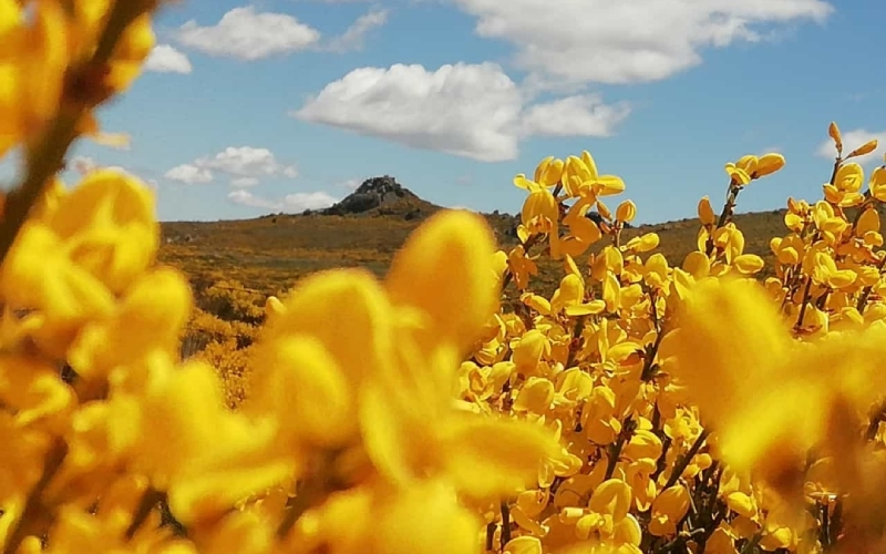 Le piorno comme protagoniste du climat subalpin de Gredos