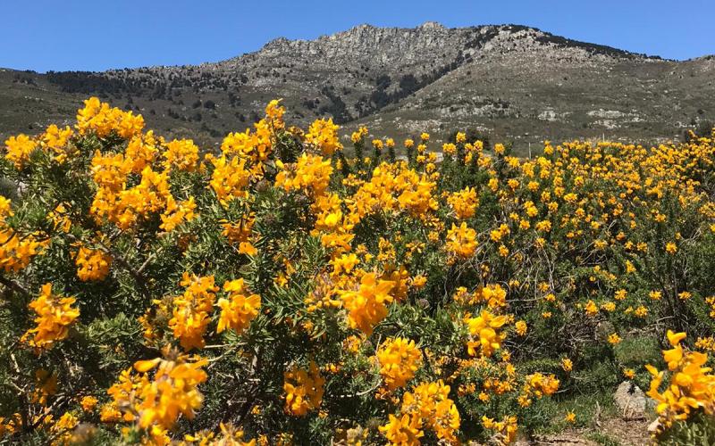 La Peñota à Los Molinos parée paré de ses plus beaux atours, les fleurs du cambroño