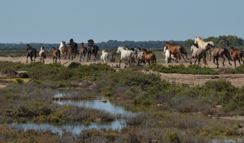 Chevaux sauvages dans les marais du Guadalquivir, la véritable origine des cow-boys