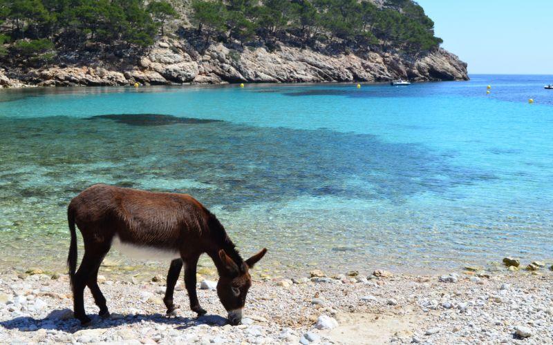 Les visites d'ânes sont fréquentes à la crique Murta