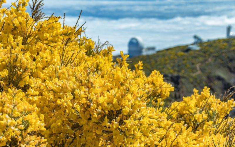 Frange dorée sur les pentes du Roque de los Muchachos, île de La Palma