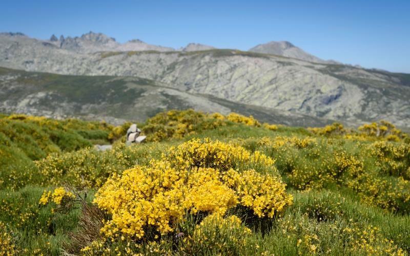 Piornos dans les montagnes de la Sierra de Gredos