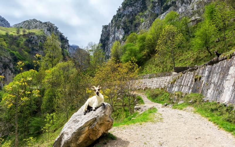 Chèvre sur la route du Cares