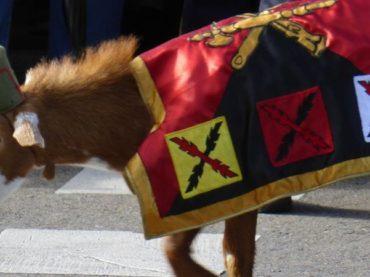 La chèvre de la Légion, la plus célèbre de ses mascottes