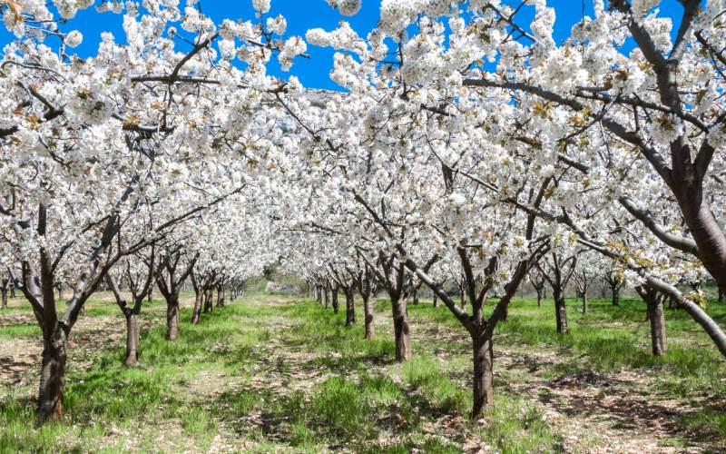 Les cerisiers en fleurs dans la vallée de Calderechas