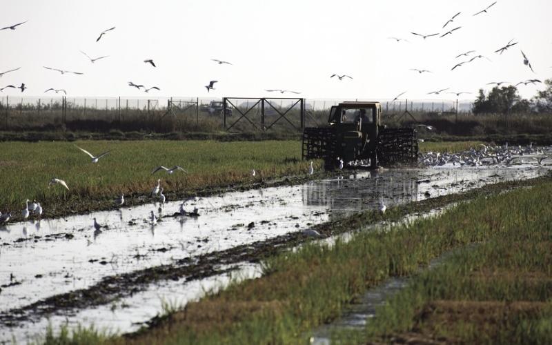 Récolte du riz dans le parc naturel du Delta de l'Ebre