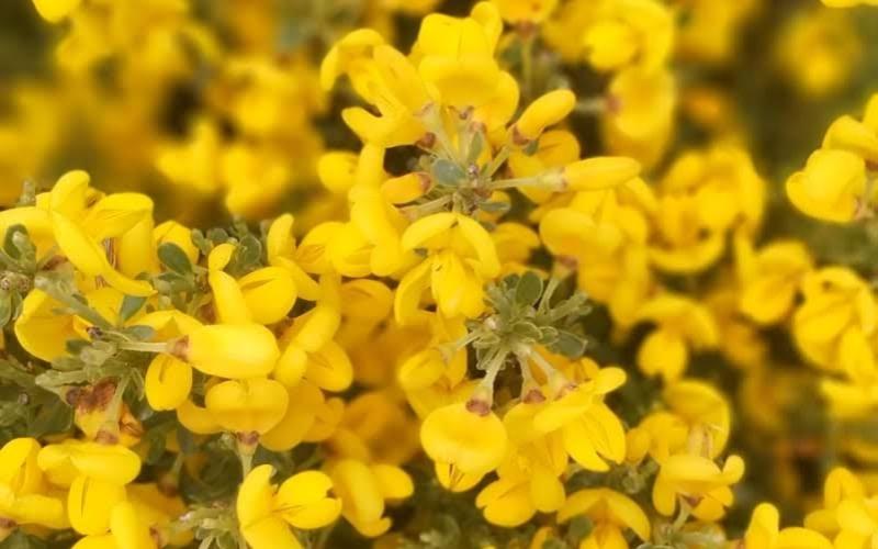 Détail des fleurs du piorno