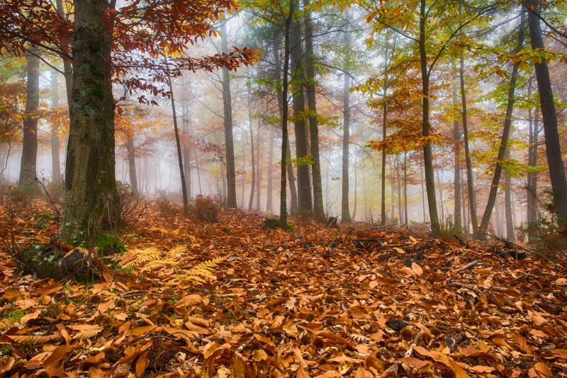 Châtaignier de El Tiemblo en automne