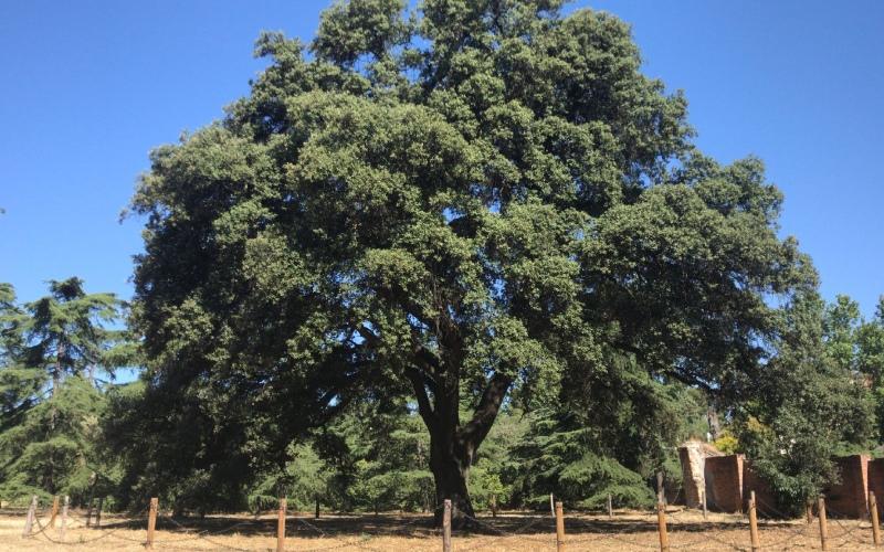 Chêne vert aussi vieux que le palais lui-même, soit quelque 400 ans