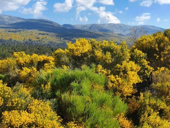 La floraison du piorno, une démonstration dorée de puissance et de beauté