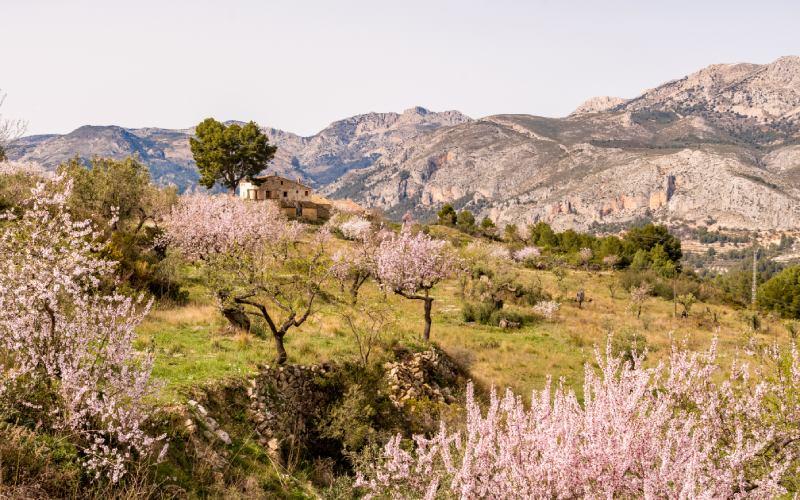 La vallée du Guadalest et ses amandiers