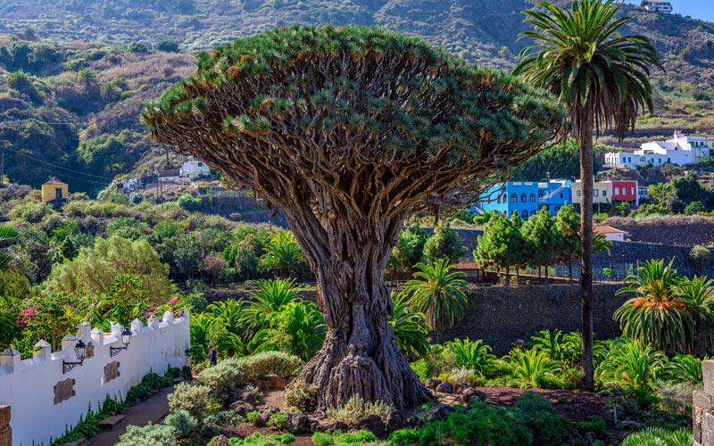 L'arbre connu sous le nom de Dragonnier des Canaries, symbole d'Icod de los Vinos