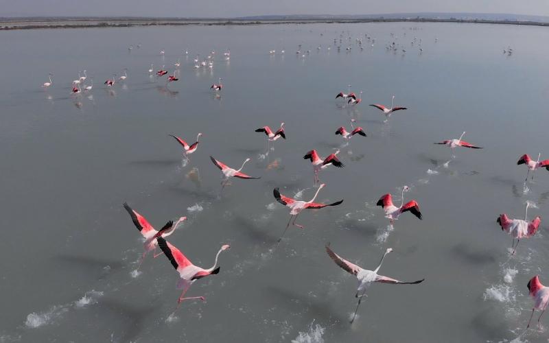 Flamants roses prenant leur envol dans la lagune de La Mata, sœur de la lagune rose