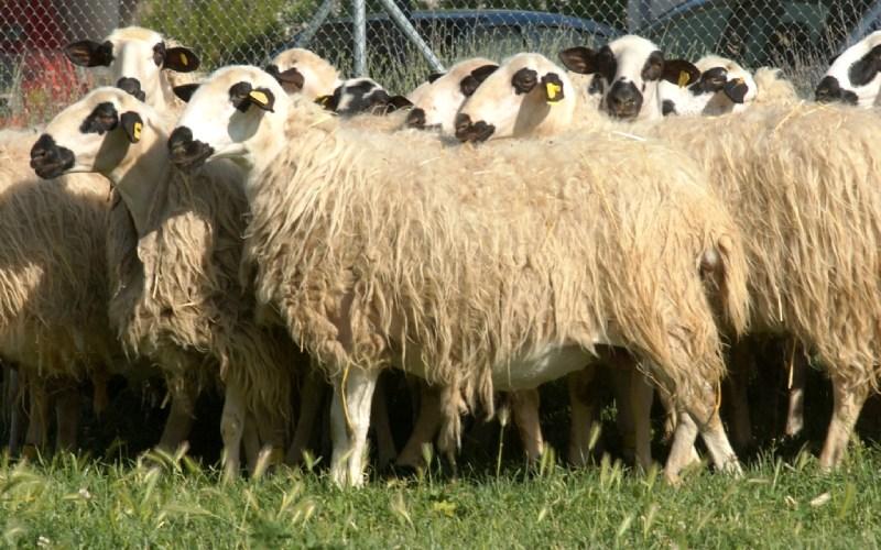 Mouton Merina