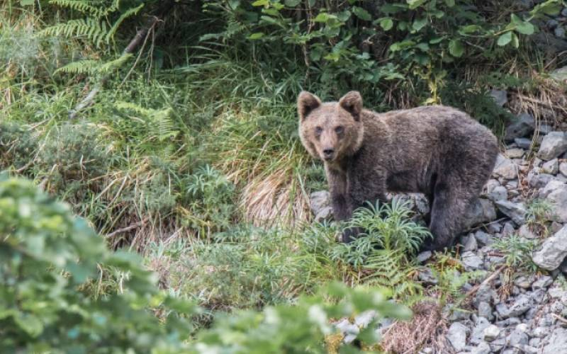 Un ours brun se promène le long du Sentier de l'ours