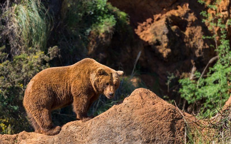 Ours brun à Cabárceno