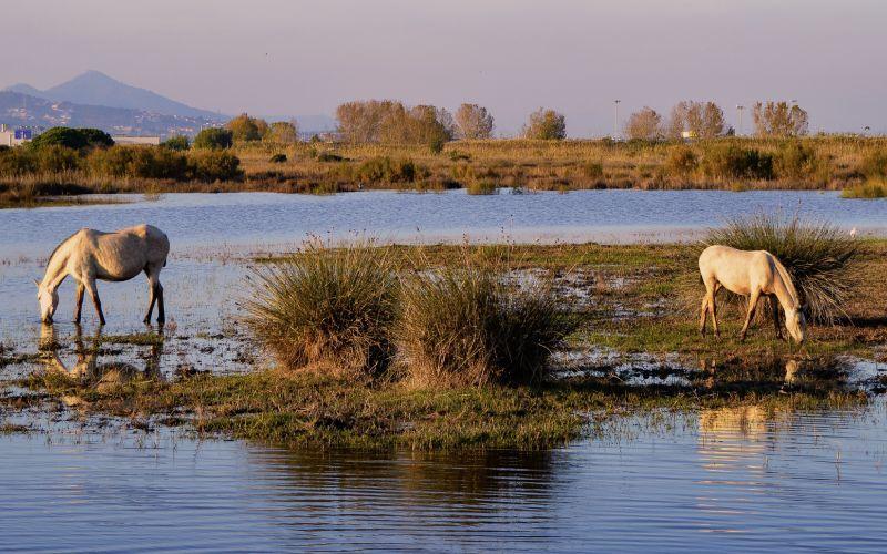 Deux chevaux buvant dans le delta du Llobregat