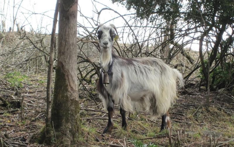 Une chèvre entre Roncevaux et Pampelune